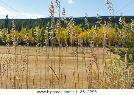 Wheat Grasses With Aspen In Background
