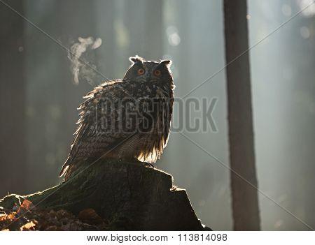 Eurasian Eagle Owl, close-up.