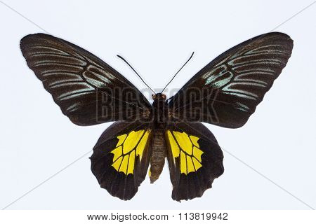 Golden  Birdwing Tropical Butterfly  Isolated On White