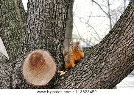 Red Squirrel Looking Out From The Crotch Of A Tree