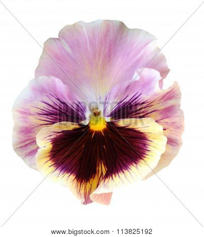 light purple pansy flower isolated on white background