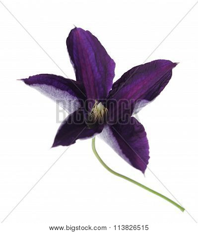 Single Clematis Flower