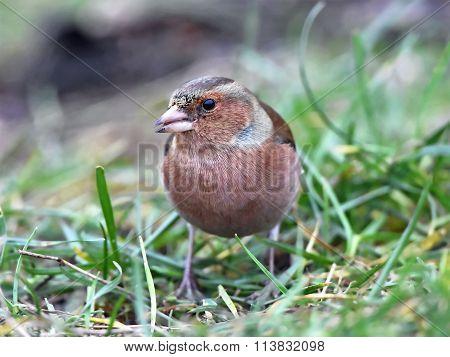 Common Chaffinch (fringilla Coelebs)