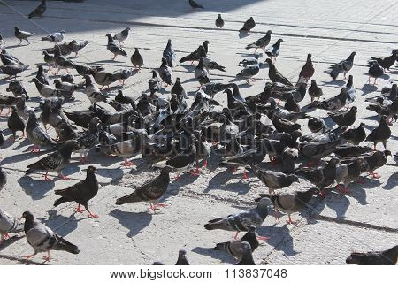 Many Pigeons Feeding On The Road
