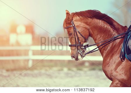Portrait Of A Red Sports Horse