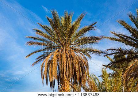 palm trees in Sahara desert