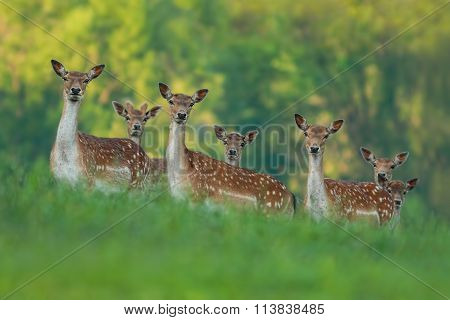 fallow deer family - doe mothers and fawn babies