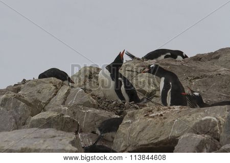 Braying Gentoo Penguins
