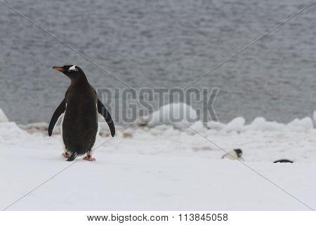 Gentoo Penguin, Neko Harbor, Antarctica