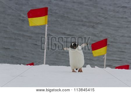 Penguin Navigating Flags
