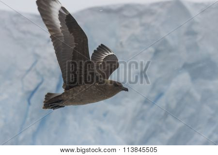 Skua In Flight Against Glacier