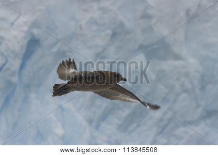 Skua In Flight