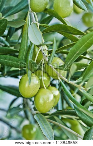 olive branch with immature olive fruits