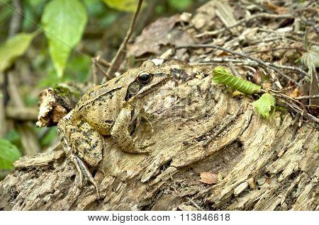 rana dalmatina at the forest floor