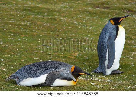 King Penguins Resting