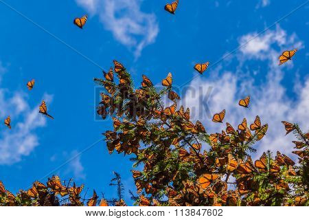 Monarch Butterflies on tree branch in blue sky background