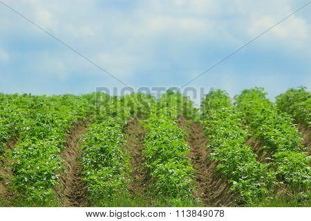 Kitchen Garden With Bushes Of Growing Potato
