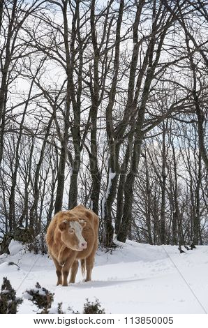 Cow In The Snowy Forest