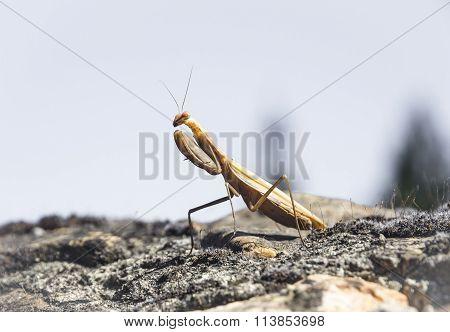 Praying Mantis - Mantodea