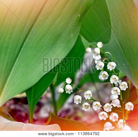 Lily Of The Valley. Spring Landscape. Flowers Lily Of The Valley
