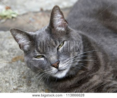 Domesticated grey cat outside on stone walkway looking up. Close up on face.