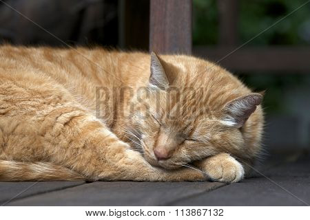 Domesticated Orange Tabby cat sleeping outside on wood patio deck