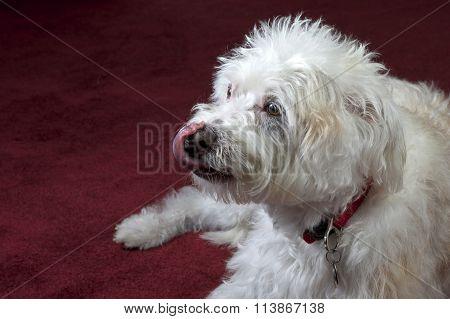 White Maltese mix dog on dark red maroon carpet, close up as dog licks his nose