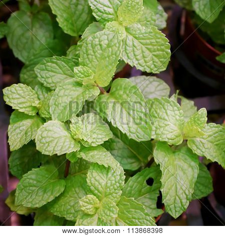 The fresh spearmint in plant market