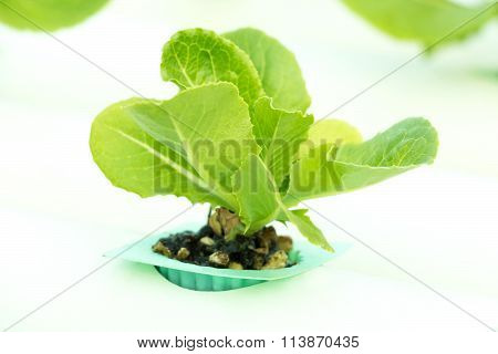 Baby Green Cos Lettuce