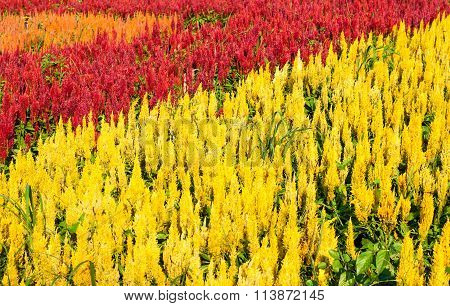 Beautiful Of Red Yellow And Orange Celosia Flower.