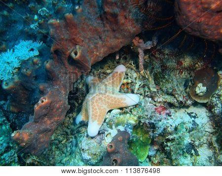 Starfish, Island Bali, Pemuteran