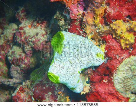Sea squirt, Island Bali, Pemuteran