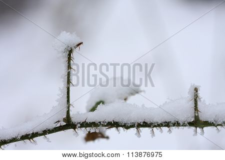 Thorny Shrub Covered With Snow In The Woods