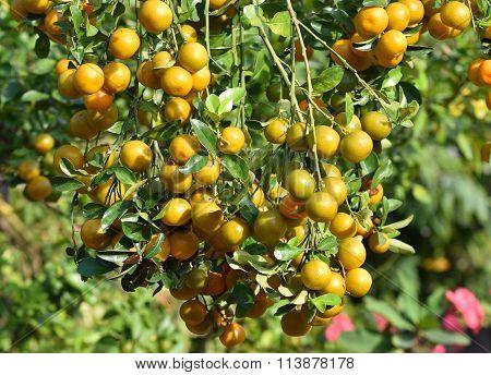 Fresh Kumquat Orange On Plant