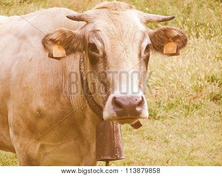 Retro Looking Fisheye View Of Cow Mammal