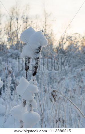 Cattail In Snow Against Sunset Background