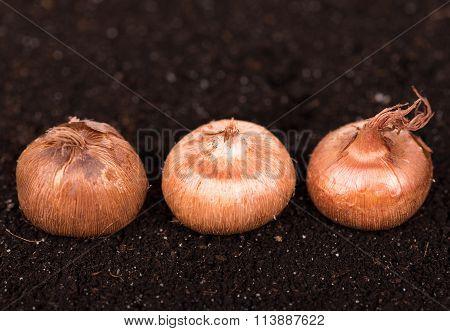 Young Crocus Bulbs