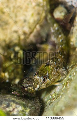 Shanny fish (Lipophrys pholis)