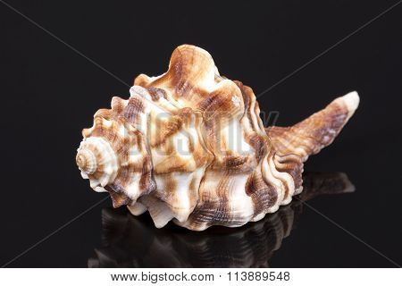 Sea Shell Of Horse Conch Isolated On Black Background