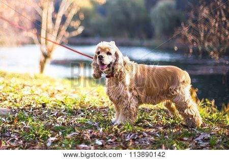 beautiful cocker spaniel in autumn park