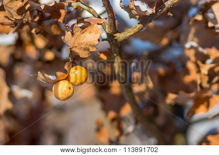 Oak Galls Cynips Quercusfolii