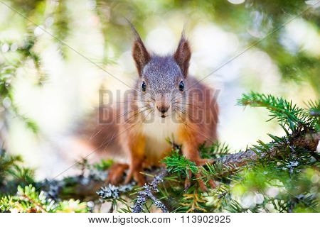 Cute Red Squirrel Close-up Portrait
