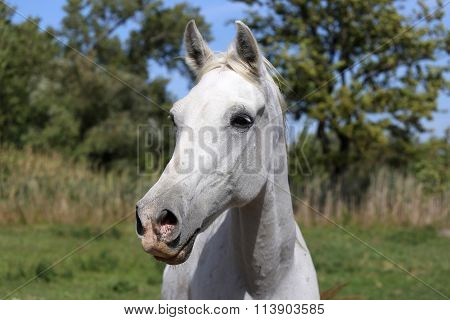 Young Arabian Horse Standing On Pasture Summertime