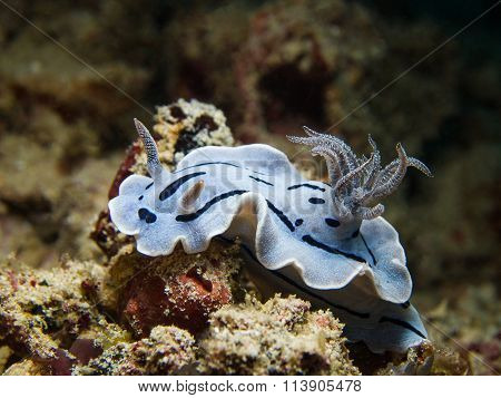 Chromodoris Willani Nudibranch, Sea Slug