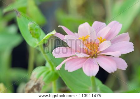 Pink Aster Flower In Rama 9 (local Name) National Garden, Bangkok Thailand