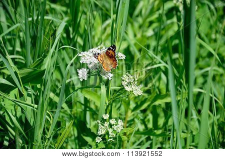 The Monarch Butterfly In The Grass In The Summer