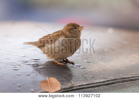 Sparrow On A Roof