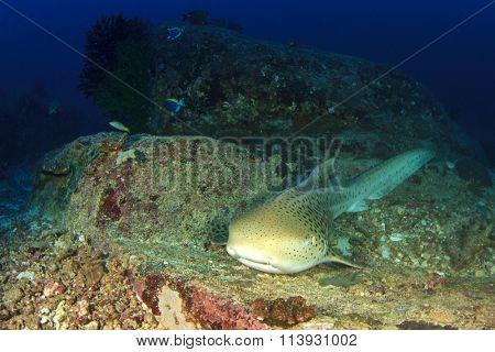 Leopard Shark (aka Zebra Shark) resting on coral reef