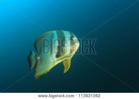 School of fish: Spadefish batfish underwater