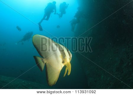 Spadefish batfish fish and scuba divers diving